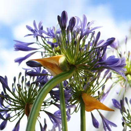 Clifton Nurseries - Agapanthus africanus blue