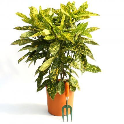 Clifton Nurseries Aucuba japonica crotonfolia - 10L