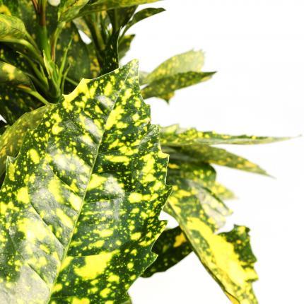 Clifton Nurseries Aucuba japonica crotonifolia 10L - leaf