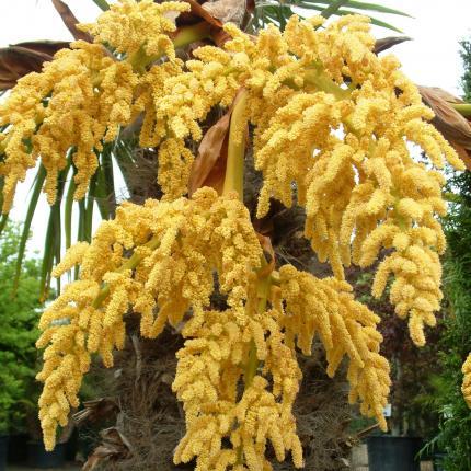 Clifton Nurseries Trachycarpus fortunei - Flower spike