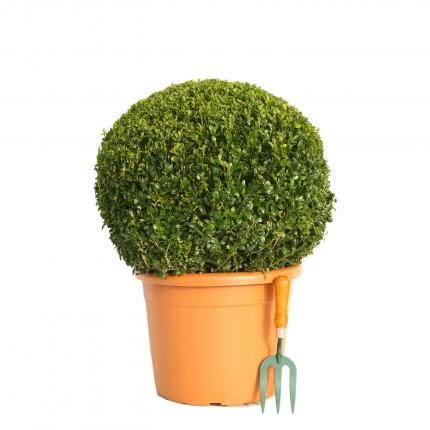 Clifton Nurseries Buxus sempervirens Ball 50 - 55cm