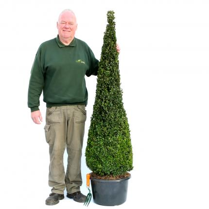 Clifton Nurseries Buxus sempervirens Slimline Cone  - 150cm
