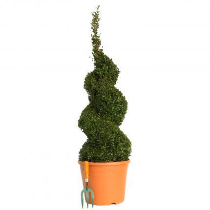Clifton Nurseries Buxus sempervirens Spiral 100 - 110cm