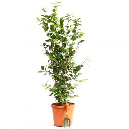 Clifton Nurseries Camellia japonica Black Lace 12LT