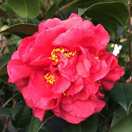 Clifton Nurseries Camellia japonica Kramers Supreme