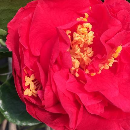 Clifton Nurseries Camellia japonica Kramers Supreme - Flower