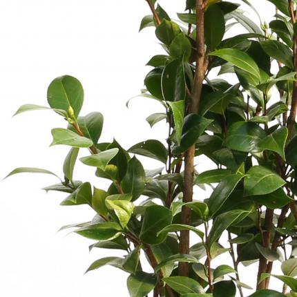 Clifton Nurseries Camellia Perfection White - Leaves