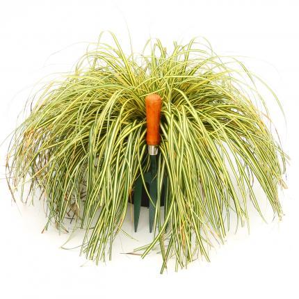 Clifton Nurseries Carex evergold 5 Litre