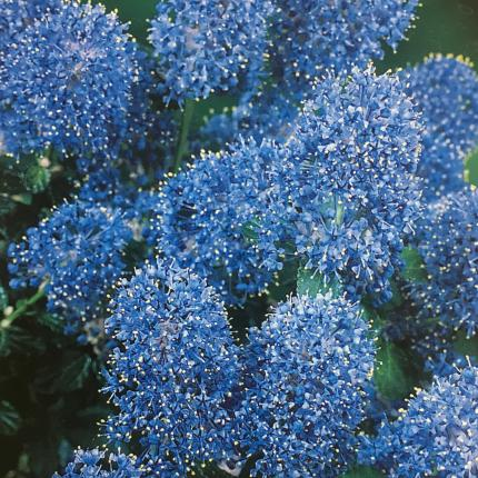 Clifton Nurseries Ceanothus Yankee Point