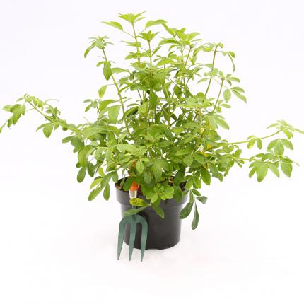 Clifton Nurseries - Choisya ternata 5 Litre