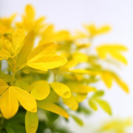 Clifton Nurseries Choisya ternata Sundance Foliage
