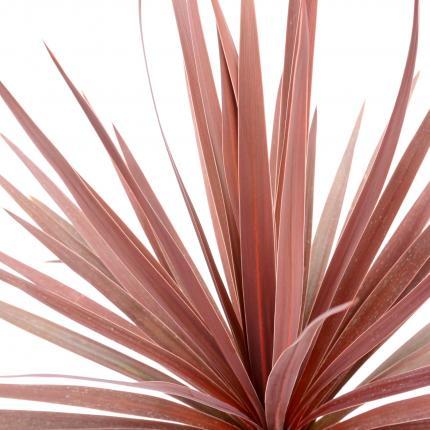 Clifton Nurseries Cordyline australis Red Star