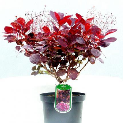 cotinus coggygria royal purple purple smoke bush 5l. Black Bedroom Furniture Sets. Home Design Ideas