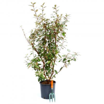 Clifton Nurseries Elaeagnus x ebbingei 10L