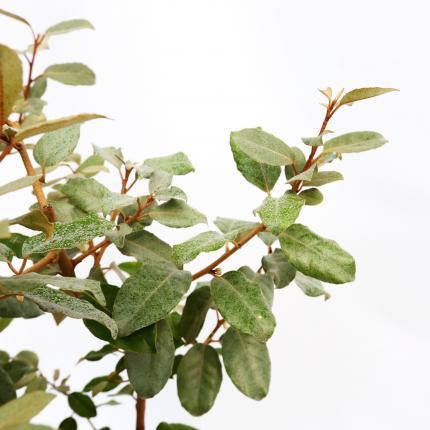 Clifton Nurseries Elaeagnus x ebbingei foliage