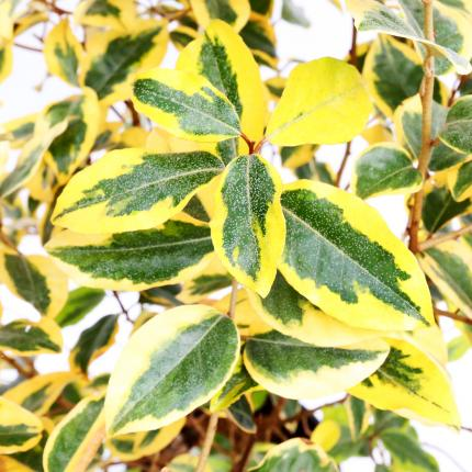 Clifton Nurseries Elaeagnus x ebbingei Gilt Edge - Foliage