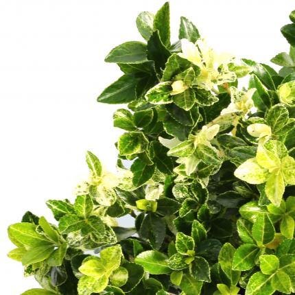 Clifton Nurseries Euonymus heespierrolino - foliage