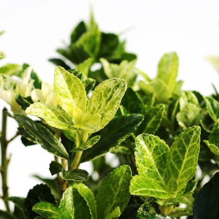 Clifton Nurseries Euonymus heespierrolino - leaves