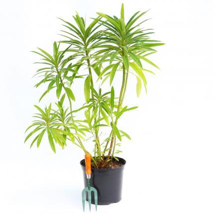 Clifton Nurseries Euphorbia mellifera - 10L