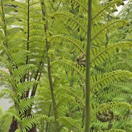 Clifton Nurseries HSK Tree Fern Feed