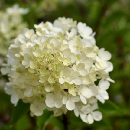 Clifton Nurseries Hydrangea paniculata Vanille Fraise flower