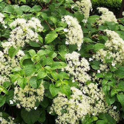 Clifton Nurseries Hydrangea petiolaris flowers