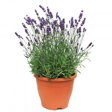 Clifton Nurseries - Lavendula angustifolia Hidcote 5L