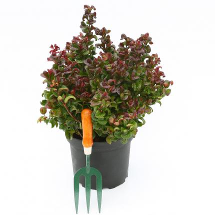Clifton Nurseries - Leucothoe Curly Red - 5 Litre