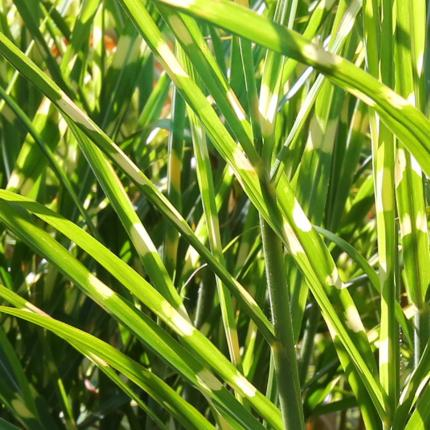 Clifton Nurseries Miscanthus sinensis Zebrinus foliage