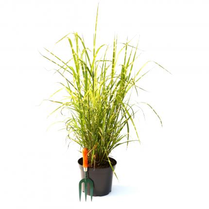 Clifton Nurseries Miscanthus sinensis Zebrinus Grass