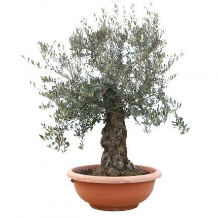 Clifton Nurseries Olea europaea - Bonsai Olive in Large Terra Bowl