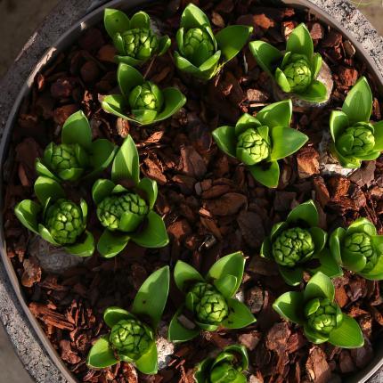 clifton nurseries mocha aster pot 38cm rustic garden pot