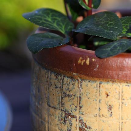 clifton nurseries yakuta water jar fuzhou yellow close up garden pots