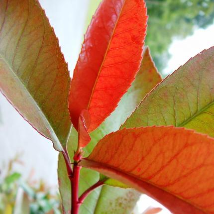Clifton Nurseries Photinia x fraseri Red Robin leaves