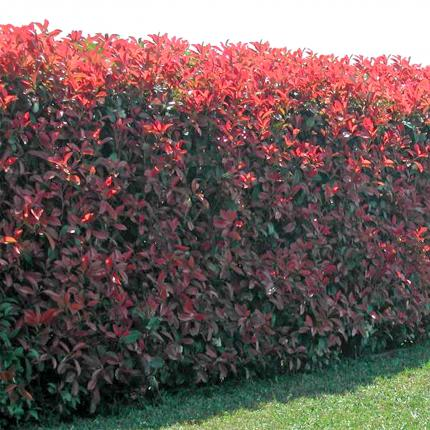 Clifton Nurseries Photinia x fraseri Red Robin hedge