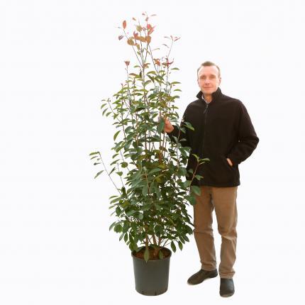 Clifton Nurseries Photina x fraseri Red Robin 18L Bush