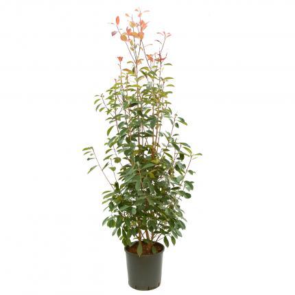 Clifton Nurseries Photinia x fraseri Red Robin 18L Bush