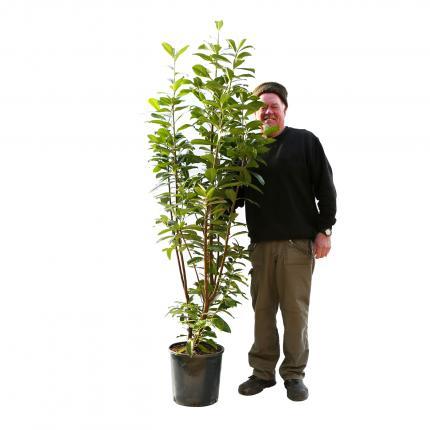 Clifton Nurseries Prunus laurocerasus Novita
