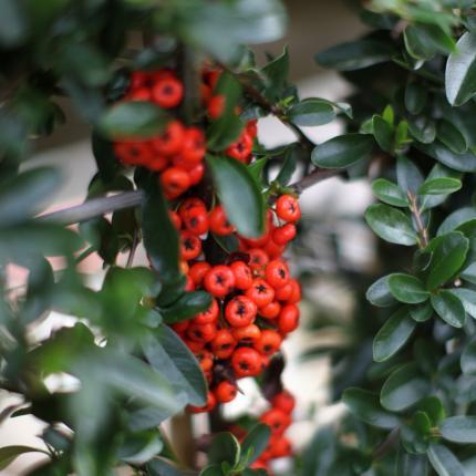 Clifton Nurseries Pyracantha Saphyr Red
