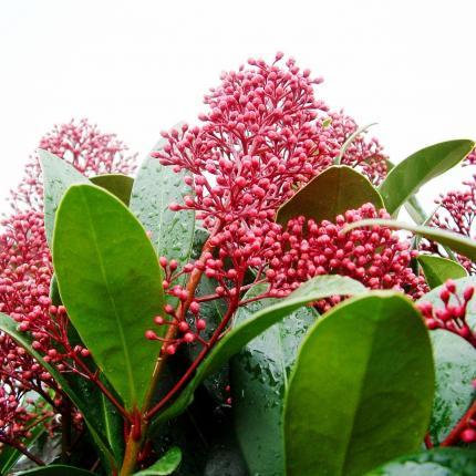 skimmia japonica rubella skimmia 7 5l bush clifton nurseries. Black Bedroom Furniture Sets. Home Design Ideas