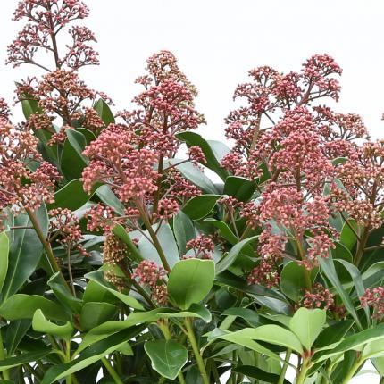 Clifton Nurseries Skimmia japonica Rubesta - Flower Buds
