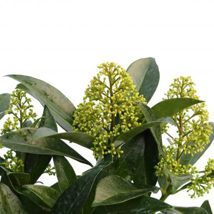 Clifton Nurseries Skimmia x confusa Kew Green 5L -Flowerbuds