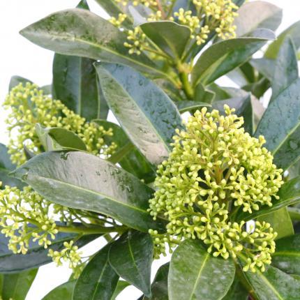 Clifton Nurseries Skimmia x confusa Kew Green 5L - Flowers