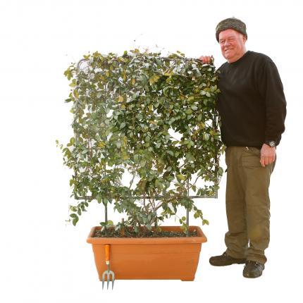Clifton Nurseries Trachelospermum jasminoides  - Box Frame