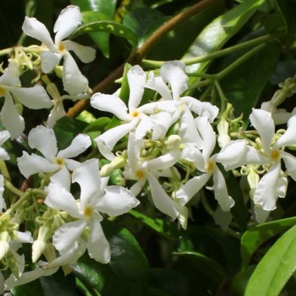 Clifton Nurseries Trachelopsermum jasminoides - Flower Detail