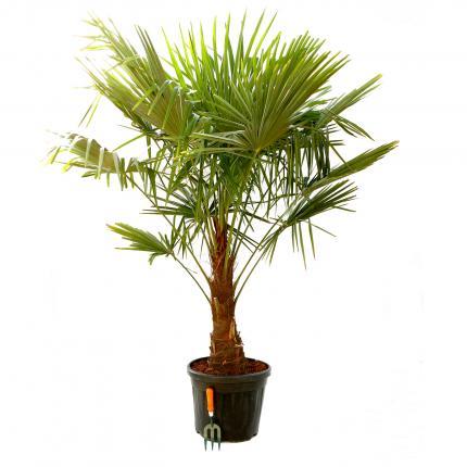 Clifton Nurseries Trachycarpus fortunei - Single Stem 35L