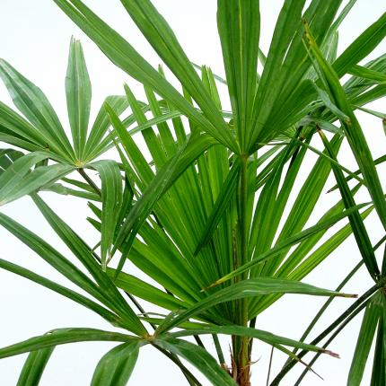 Clifton Nurseries Trachycarpus fortunei - Foliage detail