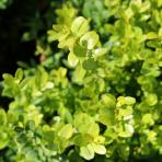 Clifton Nurseries Buxus sempervirens - Foliage