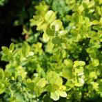 Clifton Nurseries Buxus sempervirens - Foliage