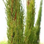 Clifton Nurseries Cupressus sempervirens Totem pencil pine